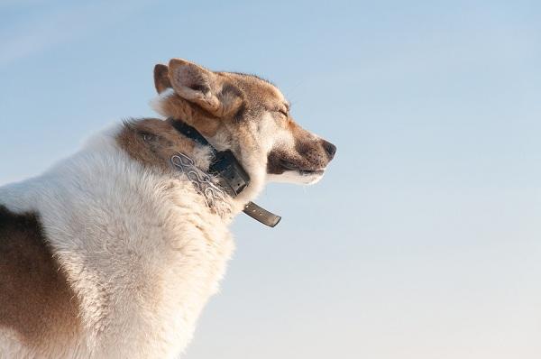 mejor-collar-antiladridos-para-perros