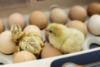 mejor-incubadora-de-huevos