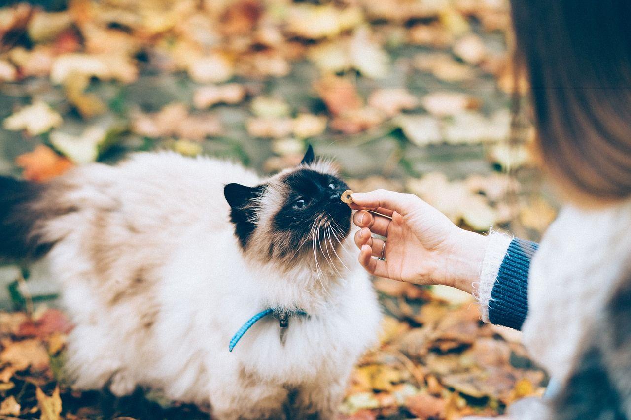 mejores-golosinas-para-gatos