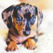 cachorros-y-nuevos-perros-en-casa