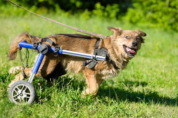 mejor-silla-de-ruedas-ajustable-para-perros